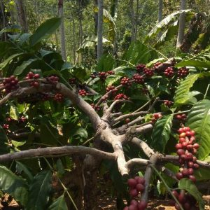 indonesian coffee beans wholesale company